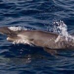 dolphin safari kuredu maldives